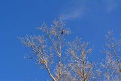 Ветви дерева тополя с птицей против голубого неба в зимнем дне Стоковые Изображения RF