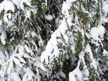 Ветви дерева туя в снеге Стоковая Фотография RF