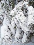 Ветви дерева туя в снеге Стоковое Изображение