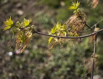 Ветви дерева negundo Acer цветя, изумляя зеленые красные цветки в цветени, сезоне sprintime, взгляде детали крупного плана стоковая фотография rf