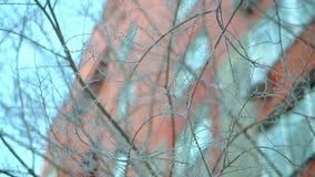Ветви деревьев в снеге и заморозке, очень холодные Строгий заморозок в Аляске сток-видео