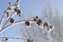 Ветви деревьев имеют снег blibli Русская зима 2018 стоковые изображения rf