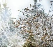 Ветви деревьев покрытых с дождем льда Стоковые Фото