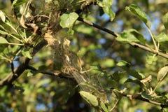 Ветви деревьев aplle в сети заболеванием Эпидемия моли ermine стоковое изображение rf