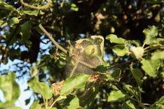 Ветви деревьев aplle в сети заболеванием Эпидемия моли ermine стоковая фотография rf