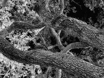Ветви дуба на ноче, черно-белой стоковые изображения rf