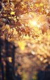 Ветви дуба осени с увяданными листьями Стоковые Фото