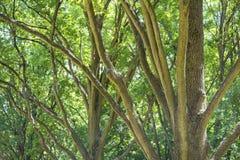 Ветви дуба, парк Askania-Новы национального заповедника, Украина Dendrological Стоковая Фотография