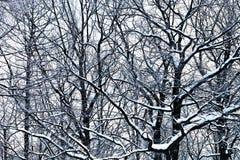 Ветви дуба под снежком Стоковое фото RF