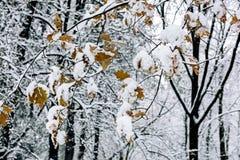 Ветви дуба при листья осени предусматриванные с белым пушистым s Стоковое Изображение