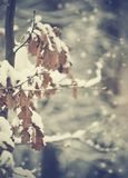 Ветви дуба с увяданными листьями в снеге Стоковые Изображения RF