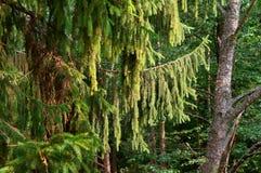 Ветви елевого дерева, зеленые ветви смертной казни через повешение хвои Стоковая Фотография