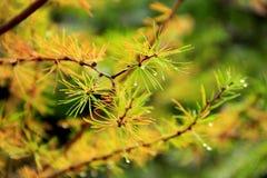 Ветви ели в лесе Стоковое фото RF