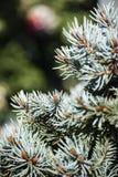 Ветви ели закрывают вверх по предпосылке Стоковые Изображения RF