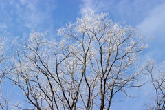 Ветви дерева акации предусматриванные с заморозком против неба Стоковые Фотографии RF