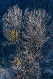 Ветви дерева без листьев в холодной температуре с солнечным светом на Lachen в северном Сиккиме, Индии Стоковая Фотография RF