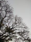 Ветви дерева без листьев Стоковая Фотография RF