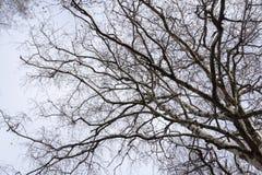 Ветви дерева без листьев Стоковое Изображение RF