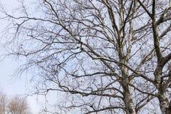 Ветви дерева без листьев Стоковые Фотографии RF