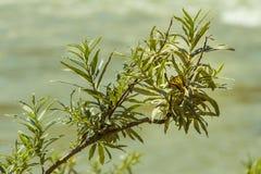 Ветви дерева вербы и бабочка Swallowtail Стоковая Фотография