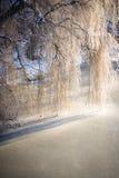 Ветви дерева ветви вися над замороженным рекой Стоковое Фото
