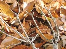 Ветви дерева вилы появляясь, листья хворостин осенью Стоковое Изображение RF