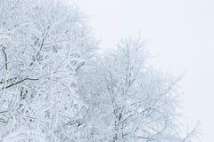 Ветви дерева в снеге Стоковые Фотографии RF