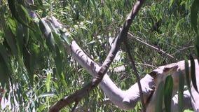 Ветви дерева евкалипта при автомобили проходя ниже видеоматериал
