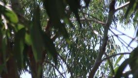 Ветви дерева евкалипта против неба видеоматериал