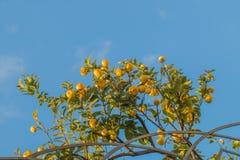 Ветви дерева лимона вполне зрелых плодоовощей Стоковое Изображение RF