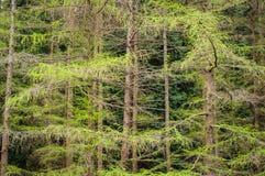 Ветви дерева лиственницы Зеленая предпосылка Стоковая Фотография RF