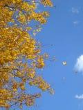 Ветви дерева осени с желтым цветом выходят на голубое небо Стоковое фото RF