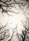 Ветви дерева отсутствие листьев черно-белых Сухая мертвая предпосылка белизны изолята деревьев Стоковая Фотография RF