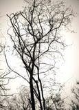 Ветви дерева отсутствие листьев черно-белых Сухая мертвая предпосылка белизны изолята деревьев Стоковые Изображения RF