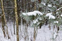 Ветви дерева спруса зимы Стоковые Фото