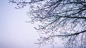 Ветви дерева с бутонами на заходе солнца Конец-вверх деревьев весны фокус nShallow Стоковая Фотография RF