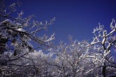 Ветви дерева Snowy стоковая фотография