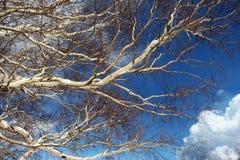 Ветви деревьев березы, от вулкана etna Стоковое Фото