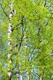 Ветви деревьев березы Стоковые Фотографии RF