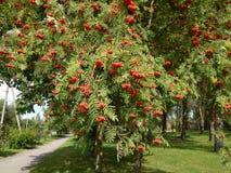 Ветви деревьев предусматриванные в ягодах Стоковая Фотография RF