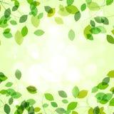 Ветви лета с свежими зелеными листьями Стоковые Изображения