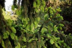 Ветви детенышей елевые Стоковое Изображение RF