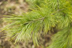 Ветви ели, весны в лесе Стоковое Изображение