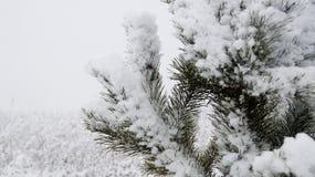 Ветви ели в снежке Стоковые Изображения RF