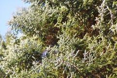 Ветви ели Стоковые Фотографии RF