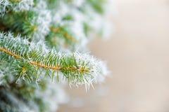 Ветви ели рождества с заморозком оправы в лесе зимы, стоковые изображения