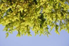 Ветви ели с молодыми всходами против неба Стоковые Изображения