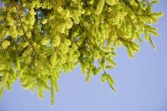 Ветви ели с молодыми всходами против неба Стоковая Фотография