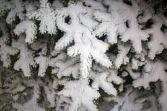 Ветви ели с снежком Стоковое Фото