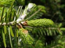 Ветви ели Стоковое Изображение RF